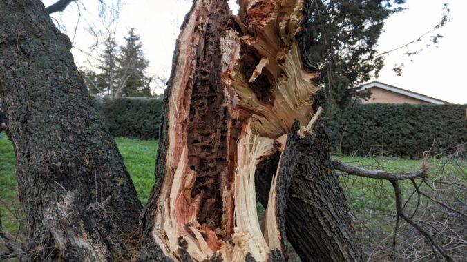 Árbol de Getafe tras el paso de la borrasca Filomena (26 enero 2021)